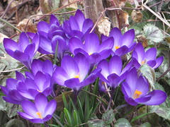 Spring Crocus (bigbrowneyez) Tags: crocus special fabulous delightful flickrpurple delight fresh spring primavera lovely precious hopeful flowers pretty tiny colourful bello bellissimi mygarden nature natura aprilblossoms mybirthday miocompleanno miogiardino garden fancy delicate springcrocus light luce details softness