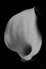 Calla lily (Gordon.A) Tags: select studiophotography studiolighting studiolight flashphotography studio light shade white lily lilies callalily callalilies plant flower aesthetic depthoffield macro blackandwhite monochrome canon canon750d