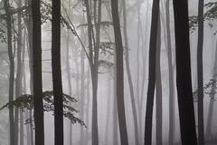 Nebelwald (wiebke-e) Tags: buchen wald forest olympus nocticron nebel foggy germany deutschland