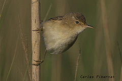 Boscarla de canyar, Carricero común, Reed Warbler (Acrocephalus scirpaceus) (Carles Pibernat) Tags: