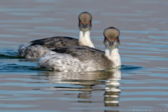 Blanquillo. Podiceps occipitalis occipitalis. Silvery Grebe (Daniel Sziklai G.) Tags: aves batuco blanquillo cadellada podiceps occipitalis silvery grebe