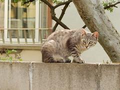 Cat (amgirl) Tags: cat background camouflage spain elbierzo animal window tree wall elacebotocamponaraya april19 day21