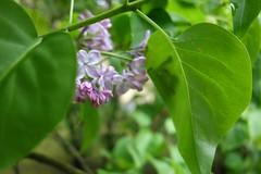 Grüne Blätter und violette Blüten (Pascal Volk) Tags: flora pflanze plant planta green grün closeup nahaufnahme sonydscrx100 7dwf