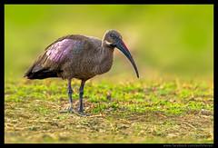 Beauty of The Nature (asifsherazi) Tags: hadedaibis asifsherazi kenya lake baringo lakebaringo
