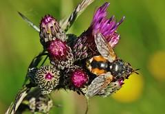 Fly (Hugo von Schreck) Tags: hugovonschreck macro makro insect insekt fly fliege canoneos5dsr tamron28300mmf3563divcpzda010 onlythebestofnature buzznbugz