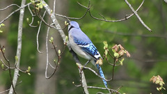 Shades of Blue (blazer8696) Tags: 2017 brookfield ct connecticut ecw obtusehill t2017 table usa unitedstates blja blue bluejay corvidae cristata cyacri cyanocitta cyanocittacristata img0069 jay passeriformes