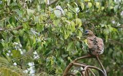 IMG_2813 (JennaF.) Tags: animal pajaro ave cuculi ramas arboles arbol jardin horacio universidad antonio ruiz de montoya lima perú uarm