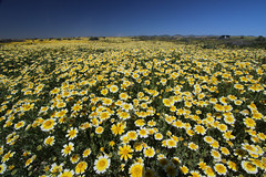 Daisy Fields, Carrizo Plain NM (Mastery of Maps) Tags: carrizoplain nationalmonument natural naturalbeauty naturallandcape spring spring2017 superbloom 2017superbloom 2017 flowers wildflowers wilderness centralcalifornia sanluisobispocounty bloom blooming springbloom springcolors desertflowers colors vast flowerfields 2017wildflowers yellow yellowflowers ca california californiawildflowers tidytips coastaltidytips layia platyglossa