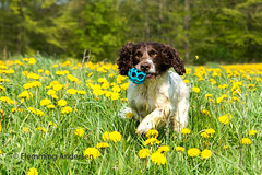19/52 ZigZag 2017 (Flemming Andersen) Tags: 52weeksfordogs animal cocker mælkebøtter outdoor spaniel spring yellow zigzag dandelions dog flower hund nature pet jelling regionsyddanmark denmark dk
