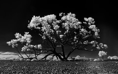 Middleton (Bass Photography) Tags: middleton queensland outback australia outbackaustralia outbackstreets blackwhite infrared australiansuburbs australianlandscape australianstreets street tree trees