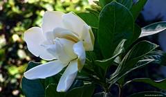 con fragancia a jazmin... (ojoadicto) Tags: jazmin flower flor blanca white hojas leaves bokeh nature naturaleza