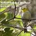 Yellow-headed Warbler, Teretistris fernandinae