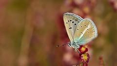 Polyommatus (Agrodiaetus) vanensis (KOMSIS) Tags: kelebek butterfly schmetterlinge farfalla papillon mariposa borboleta vlinder leptir πεταλούδα лептир пеперутка көбелек kəpənək бабочка bábochka ผีเสื้อ तितली 蝶 פרפר ქელებეკი پروانه فراشة dagfjärilar fjärilar fiðrildi féileacán motyl motýlů motýlech motýl motýľ metulj conbướm päiväperhonen perhonen fluture animal animalia arthropoda insecta lepidoptera lycaenidae polyommatusagrodiaetusvanensis vanbluebutterfly çokgözlüağrımavisikelebeği insect catchy catchycolors wow buzznbugz ngc colors colorful minimalism macro wildlife outdoor field serene pattern texture plant nikon nikondigital sigma 150mm 28os nikond800e