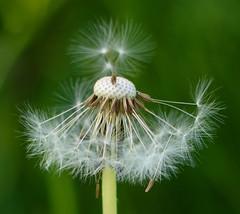 Prima Ballerina (Katrina Wright) Tags: dsc1312 dandelion tutu fluffy flower macro dof ballerina seeds