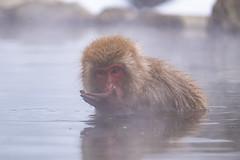 DSCF5610 (ankkkuri) Tags: japan macaque japanesemacaque