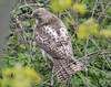 untitled-7863 (bobclark330) Tags: lakepark redtailedhawk
