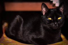 Cat (EllaRot) Tags: blackcat eye eyes meow black gattonero gatto