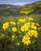 Monolopia lanceolata, Hillside Daisy (-Dagmar-) Tags: carrizoplainnationalmonument hiking temblorrange wildflowers monolopialanceolata hillsidedaisy spring2017 droh dailyrayofhope he