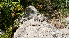 greater earless lizard on conglomerate (wmpe2000) Tags: 2017 daytrip boycethompsonarboretum rmmsspringvisit gardens lizard greaterearlesslizard reptile coldblooded conglomerate boulder geology