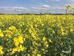 Raps (TitusT1960) Tags: feld raps blumen himmel blau grün gelb wiese blüte gelbe blauer wolken