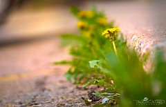 Day 130: When Dandelions Spring Ahead (Paul Howard Photo) Tags: ifttt 500px city nature concrete plants bokeh closeup dandelion olympus invasive mirrorless omd spring 365project em1 omdem1 olympuscamera paulhowardphotography olympuscanada paulhowardphoto paulhowardphotocom protectedbypixsy