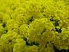 Yellow Alyssum (AzhPhotos) Tags: yellow alyssum flower