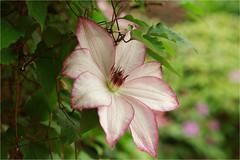 clematis........... (atsjebosma) Tags: clematis garden tuin macro bokeh spring lente voorjaar bloem atsjebosma groningen thenetherlands nederland may mei 2017 ngc npc