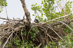 May 16, 2017 - A Bald Eagle eaglet hunkers down as the rain starts to fall. (Tony's Takes)