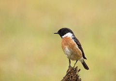 Stonechat-0127 (Kulama) Tags: stonechat birds nature wildlife woods bush bracken fern grass spring canon7dmarkii sigma150600563c