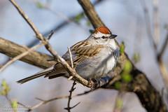 Bruant familier / Chipping Sparrow (Pierre Lemieux) Tags: villedequébec québec canada parcdesmoulins bruantfamilier chippingsparrow
