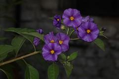 Lycianthes rantonnetii, the blue potato bush (arbre à gentiane ou morelle de Rantonnet). (chug14) Tags: plantae plante fleur flower bluepotatobush arbreàgentiane morellederantonnet solanales solanaceae lycianthesrantonnetii