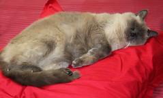 Reuben: helping me make the bed (Siene Browne) Tags: cat feline redbackground himalayan siamesecross catsleeping pillow bed animal domestic