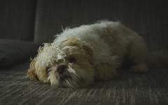 Dog-2789-2 (EB_Creation) Tags: amateur dog lens camera shihtzucentral shihtzu nikon nikond7100 nikkor nikon350mmf18 inside relaxation relax noworrries