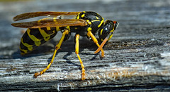 the visitor (unwelcome) (Simple_Sight) Tags: wasp spring summer garden outdoors animal insect closeup macro yellow black striped stripes wood table terrace visitor ngc npc