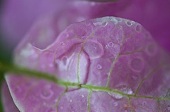 Crazy Little Think Called Love (setoboonhong ( On and Off )) Tags: nature outdoor garden rain shower raindrops bougainvillea flower veins purple pink macro depth field blur bokeh song crazy little thing called love queen 1980