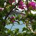 énekes gezerigó murvafürtön / northern mockingbird onbougainvillea tree