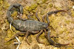 Buthidae, Rhopalurus pintoi (aracnologo) Tags: arachnida arachnid aracnídeo scorpiones scorpion escorpião escopião alacrán amajari roraima buthidae buthid rhopaluruspintoi rhopalurus pintoi