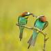Bijeneter / bee-eater / guêpier d'Europe