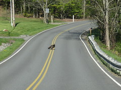 Turkey In The Middle Of The Road (amyboemig) Tags: wild turkey sunning road yellowline