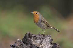 Pettirosso (Ricky_71) Tags: european robin erithacus rubecula nikon