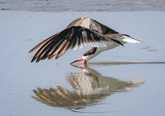 Black Skimmer (tresed47) Tags: 2017 201705may 20170517snewjerseybirds birds blackskimmer canon400mmf56l canon7d content ebforsythenwr folder newjersey peterscamera petersphotos places takenby tern us