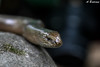 Anguis fragilis (arnaud.badiane) Tags: aniguis fragilis slow worm orvet legless lizard reptile herpetology animals wildlife nature photography chevreuse