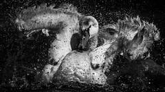 Mute Swan (Cygnus olor), taking a bath. (dave.mcculley) Tags: muteswan cygnusolor bird large water bath blackandwhite mono canon 7dmkii canon500mmf4 wwf slimbridge droplets splashing