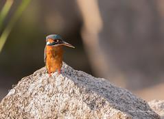 Martin Pescador (RamónP) Tags: aves pájaro bird martinpescador kingfisher sierradeandujar fotografíadenaturaleza fotografíadeaves naturaleza nature sigma150600contemporary nikond750 airelibre