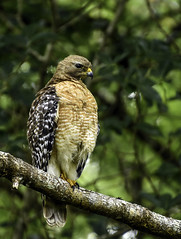 A Red-Shouldered Hawk (C. P. Ewing) Tags: animal animals bird birds nature natural wildlife outdoor woods wooded tree trees avian hawk redshouldered new beautiful predator