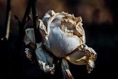 #屍華 500px.com/photo/209107599/ (KT.pics) Tags: 500px nature flower beautiful pretty simple feeling petal mood moody sadness end atmosphere fine art fragile faded white melancholic fragility photograph dead plant ktpics koukichi takahashi