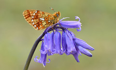 Pearl-bordered Fritillary (Boloria euphrosyne). (Bob Eade) Tags: butterflies eastsussex woodland pearlborderedfritillary boloriaeuphrosyne wildlife nature nikon macro lepidoptera butterfly insect bluebell