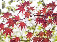 Acer (sivaD nhoJ) Tags: trees tree leaf leaves acer japanesemaple maple spring red 2017 springtime garden park manchester