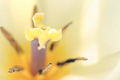 Inside a Tulip (haberlea) Tags: tulip flower mygarden nature plant inside pistil yellow macro