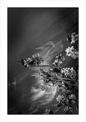 Spring Into The Clouds. (Mikec77) Tags: bw spring appleblossom hail